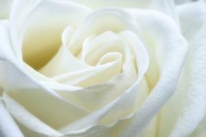 rose-1033202